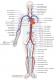 Anatomie angiologie