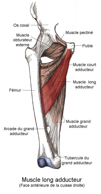 Muscle long adducteur