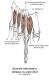 Inter osseux dorsaux