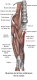 Muscle gracile